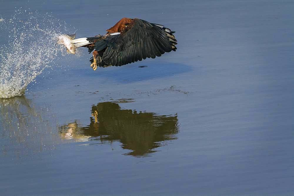 African fish eagle (Haliaeetus vocifer) catching a fish, Kruger National park, South Africa