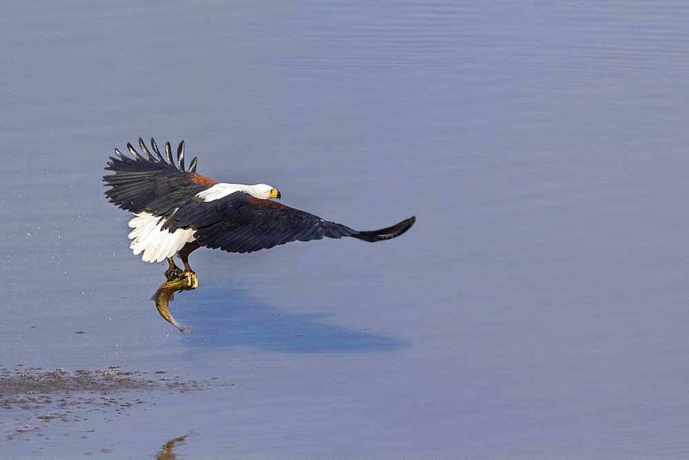 African fish eagle (Haliaeetus vocifer) with a fish, Kruger National park, South Africa