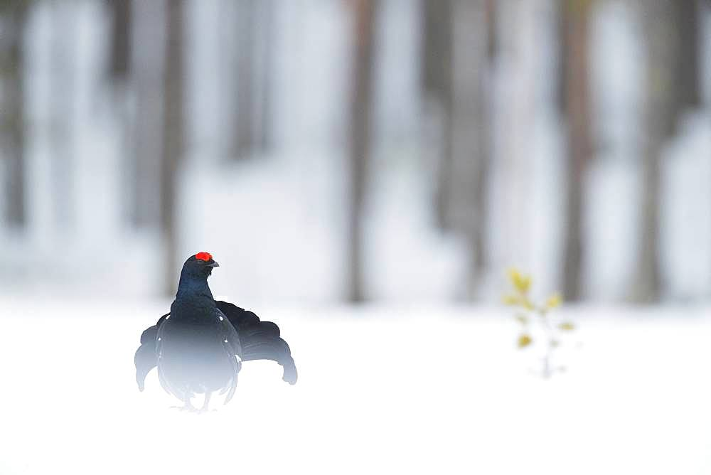 A Black Grouse (Lyrurus tetrix) displays during the Lek in Norway.