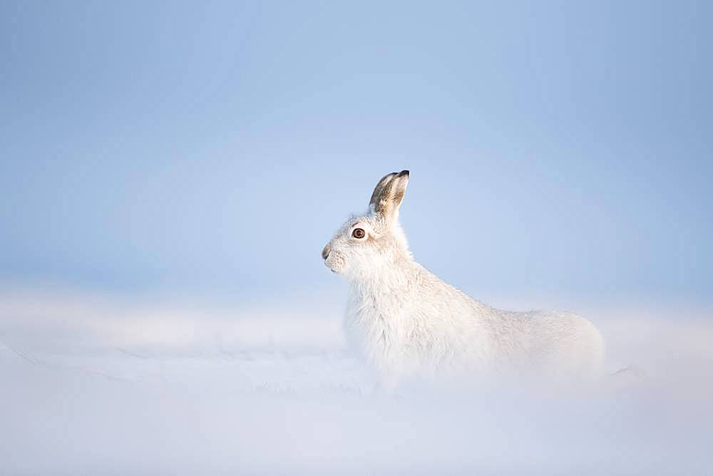 A stunning Mountain Hare (Lepus timidus) stretches in the Cairngorms National Park, UK.