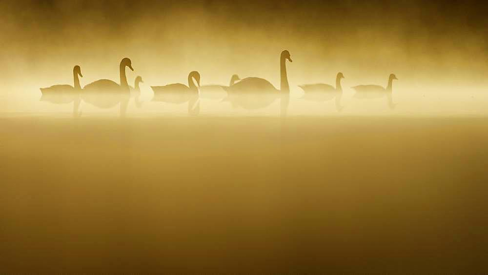 Four Swans are accompanied by four Canada Geese in the early morning sun.