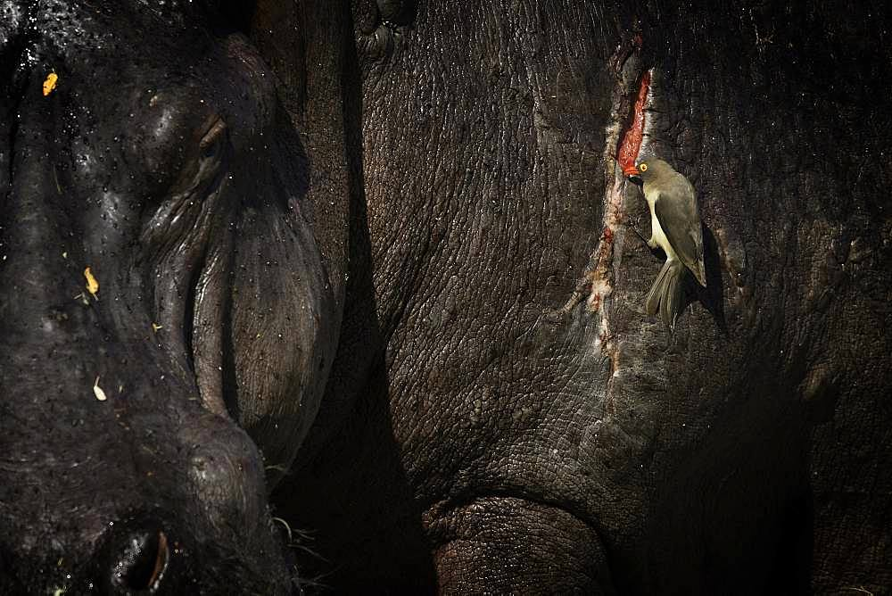 A Red-billed Oxpecker (Buphagus erythrorhynchus) takes advantage of a free meal from a wounded Hippo (Hippopotamus amphibius) in the Maasai Mara, Kenya.