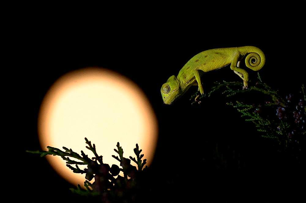 African Chameleon (Chamaeleo africanus) at night, Greece
