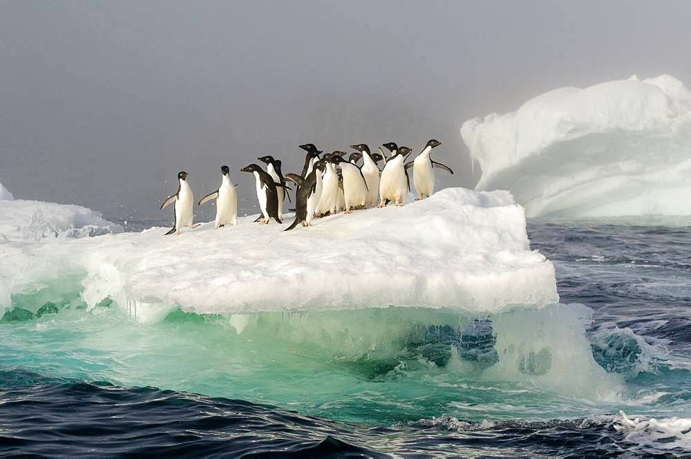 Adelie Penguin (Pygoscelis adeliae) group on an iceberg in the mist, Weddell Sea, Antarctica