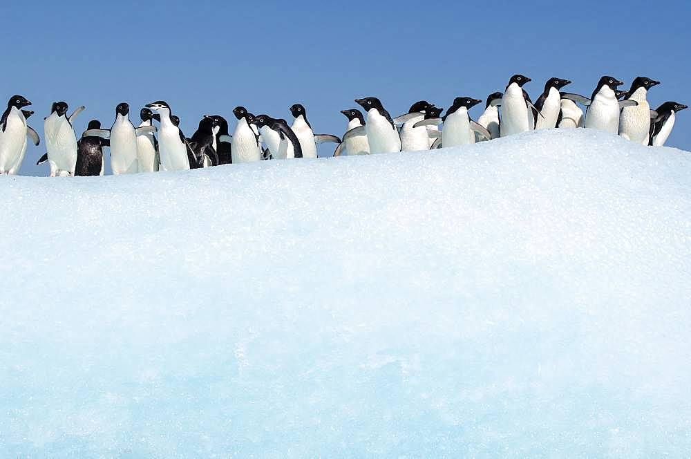 Adelie penguins (Pygoscelis adeliae) and an adult chinstrap penguin (Pygoscelis ntarcticus) on an iceberg in the Weddell Sea, Antarctica