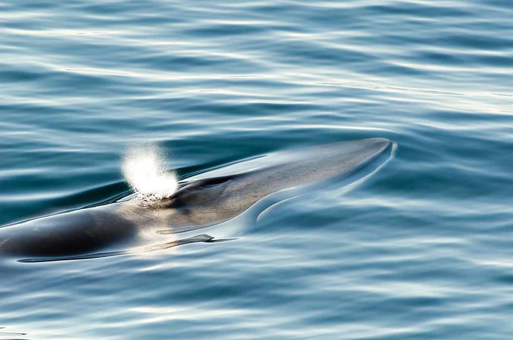 Fin whale (Balaenoptera physalus), Strait of Denmark, Greenland