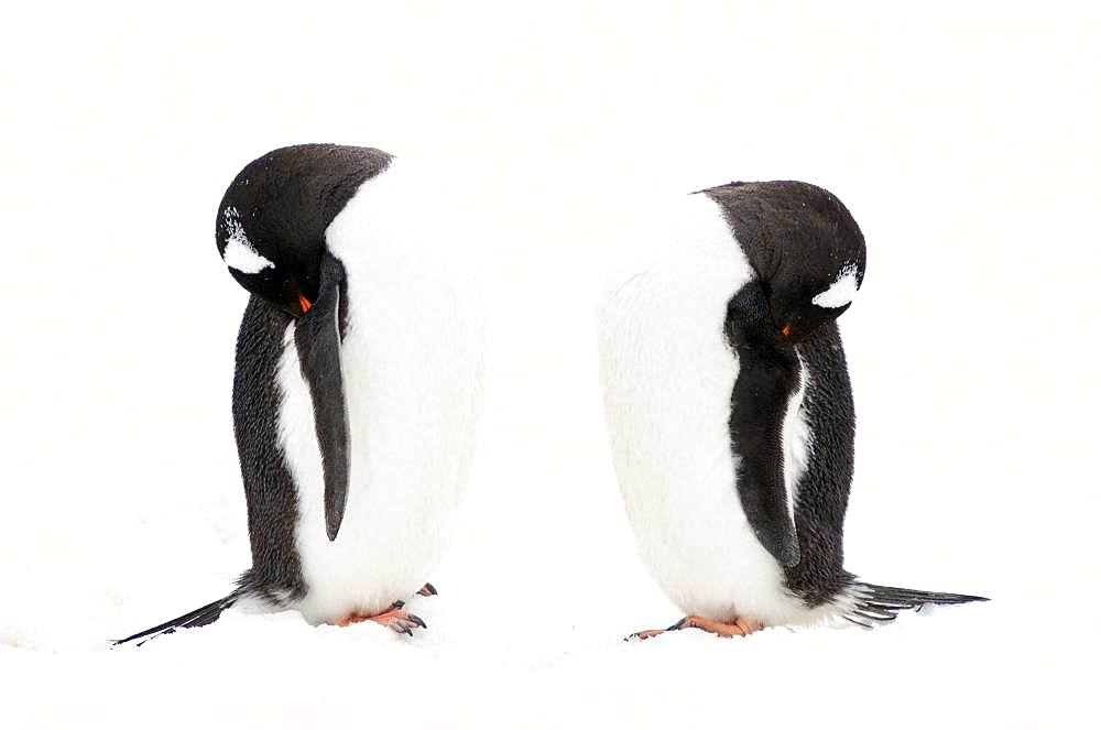 Gentoo penguin (Pygoscelis papua) sleeping, Antarctica