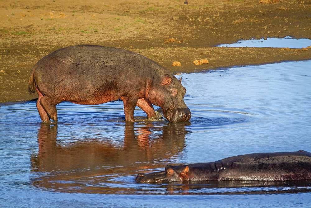 Hippopotamus (Hippopotamus amphibius) in Kruger National park, South Africa