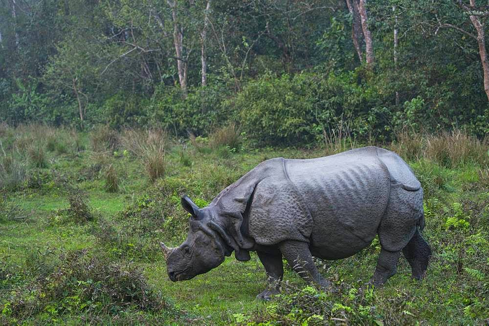 One-horned Asian rhinoceros (Rhinoceros unicornis), Chitwan National Park, Inner Terai lowlands, Nepal, Asia, Unesco World Heritage Site