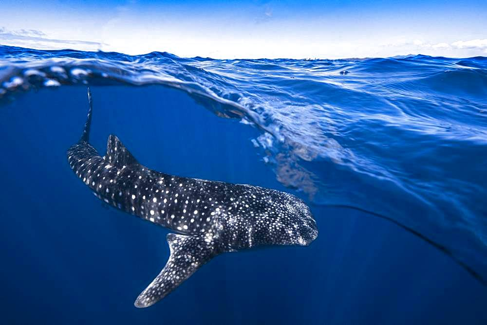 Whale shark (Rhincodon typus) under the surface, Nosy Be, Madagascar