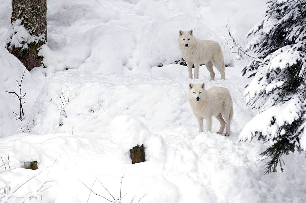 Arctic Wolf (Canis lupus arctos) in the snow