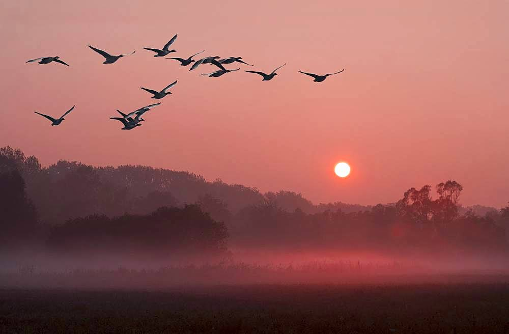 Greylag Geese (Anser anser) in flight, Nature Reserve of the Sauer Delta, Rhine River, Munchhausen, Alsace, France