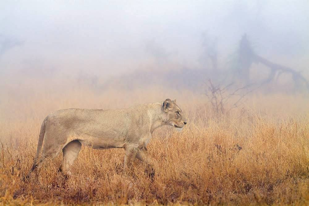 African lion (Panthera leo) in Kruger National park, South Africa