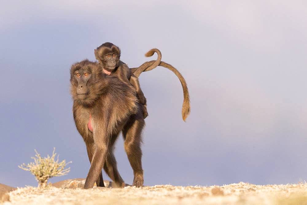 Gelada or Gelada baboon (Theropithecus gelada), adult female with a baby, Debre Libanos, Rift Valley, Ethiopia, Africa