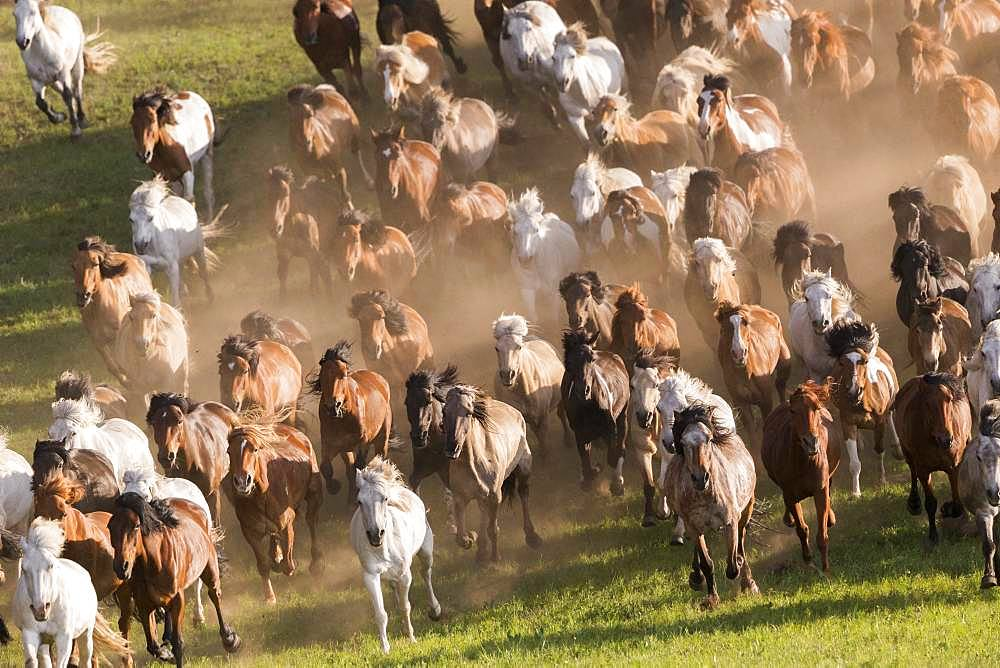 Horses running in a group in the meadow, Bashang Grassland, Zhangjiakou, Hebei Province, Inner Mongolia, China
