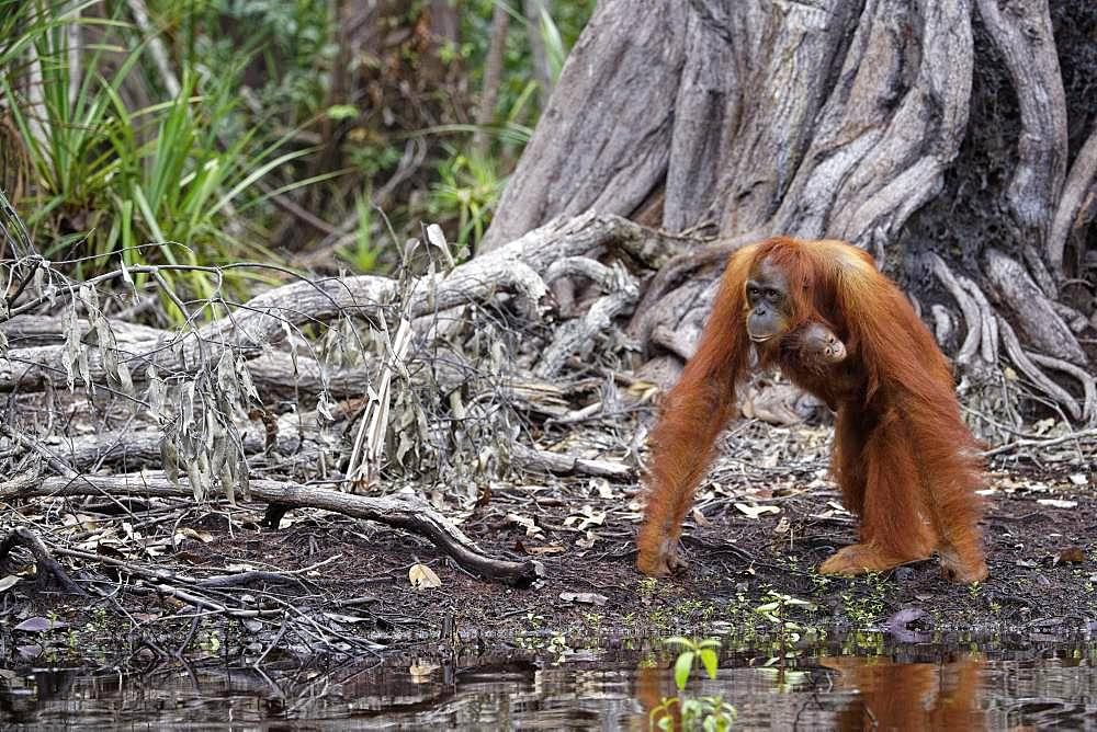 Orang utan (Pongo pygmaeus) with young on riverbank, Tanjung Puting, Kalimantan, Indonesia