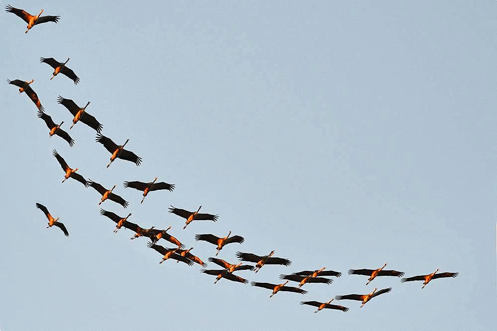 Cranes (Grus grus) arriving in the evening at Lac du Der, Champagne, France