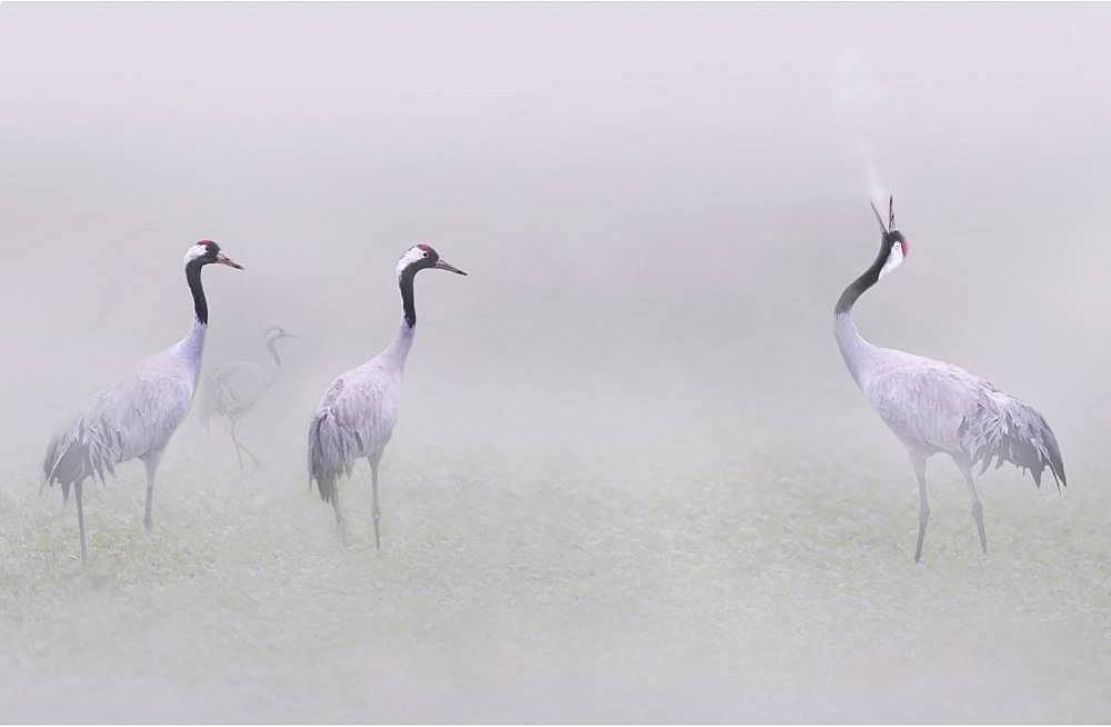 Common cranes (Grus grus) in the fog, Lac du Der, Champagne, France