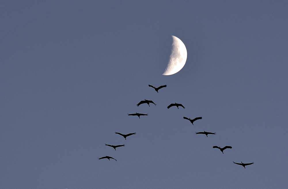 Common cranes (Grus grus) V-flight in front of the moon, Lake Der, Champagne, France