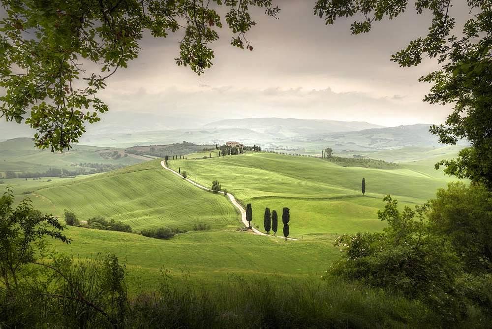 Cypress trees at Terrapille, Pienza, Sienna, Tuscany, Italy