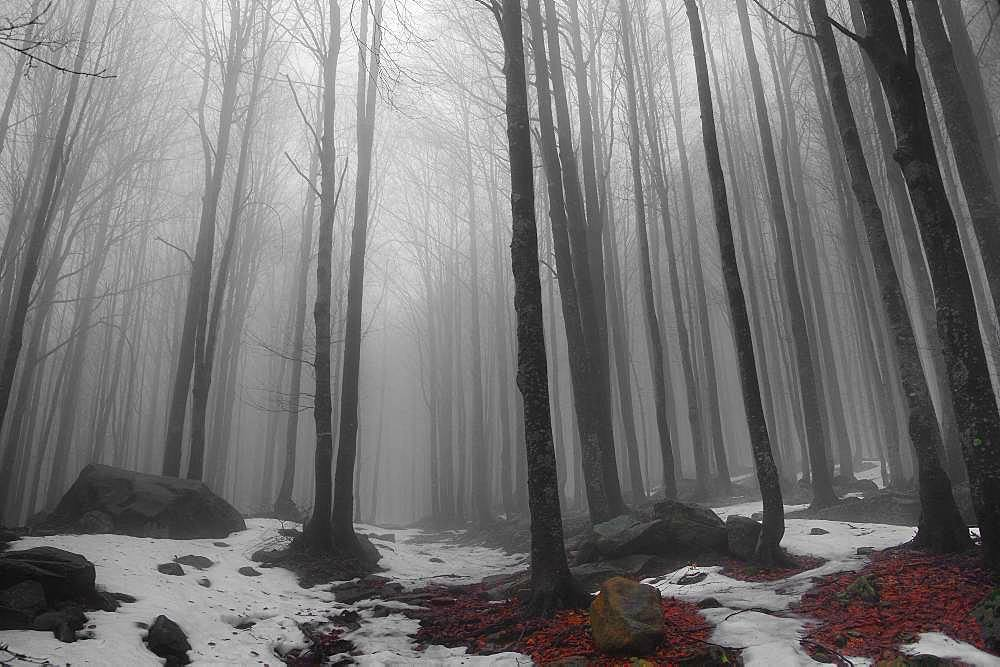 Beech trees forest in the fog, Corniglio Parma, Emilia Romagna, Italy