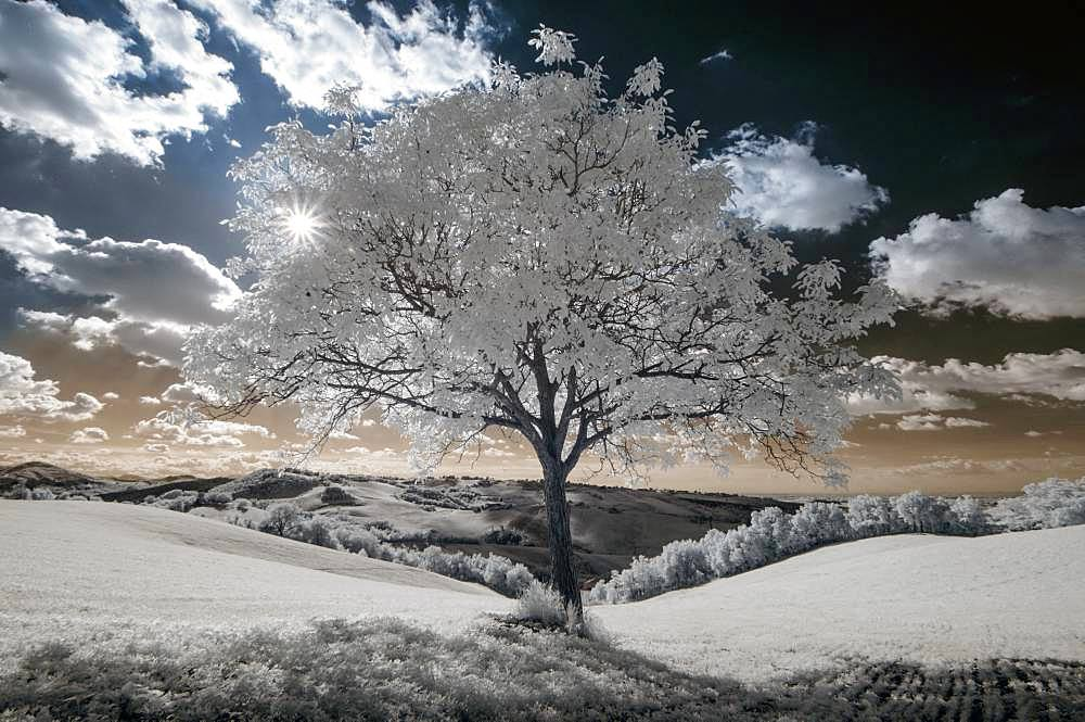 White walnut tree, Infrared picture, Langhirano, Parma, Emilia-Romagna, Italy
