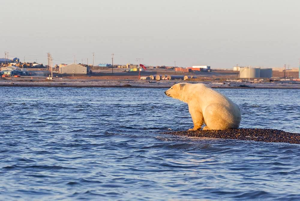 Polar Bear( Ursus maritimus ),near the water edge along a barrier island outside Kaktovik, Every fall, polar bears (Ursus maritimus) gather near Kaktovik on the northern edge of ANWR, Barter Island, Arctic National Wildlife Refuge, Alaska