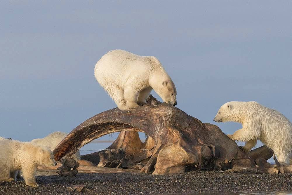 Polar Bear( Ursus maritimus ) near by the bones pile, carcass of Bow whales hunt by the villagers, along a barrier island outside Kaktovik, Every fall, polar bears (Ursus maritimus) gather near Kaktovik on the northern edge of ANWR, Arctic National Wildlife Refuge, Alaska