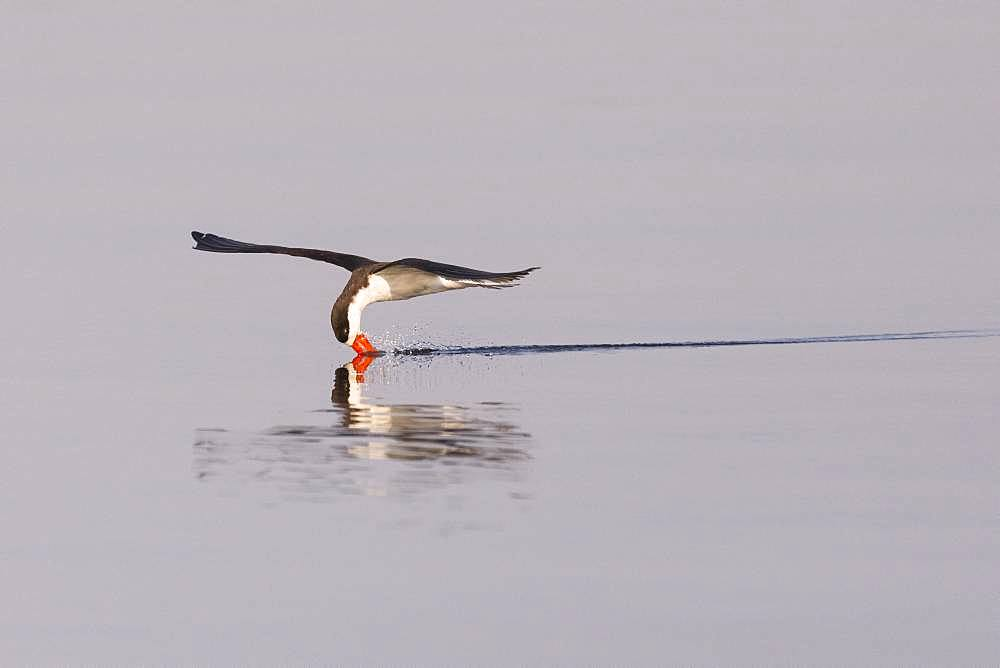 African skimmer (Rynchops flavirostris), fishing, Chobe river, Chobe National Park, Bostwana