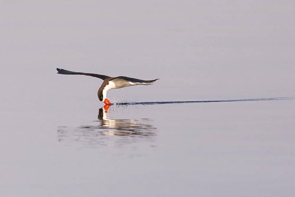 African skimmer (Rynchops flavirostris), fishing, Chobe river, Chobe National Park, Bostwana