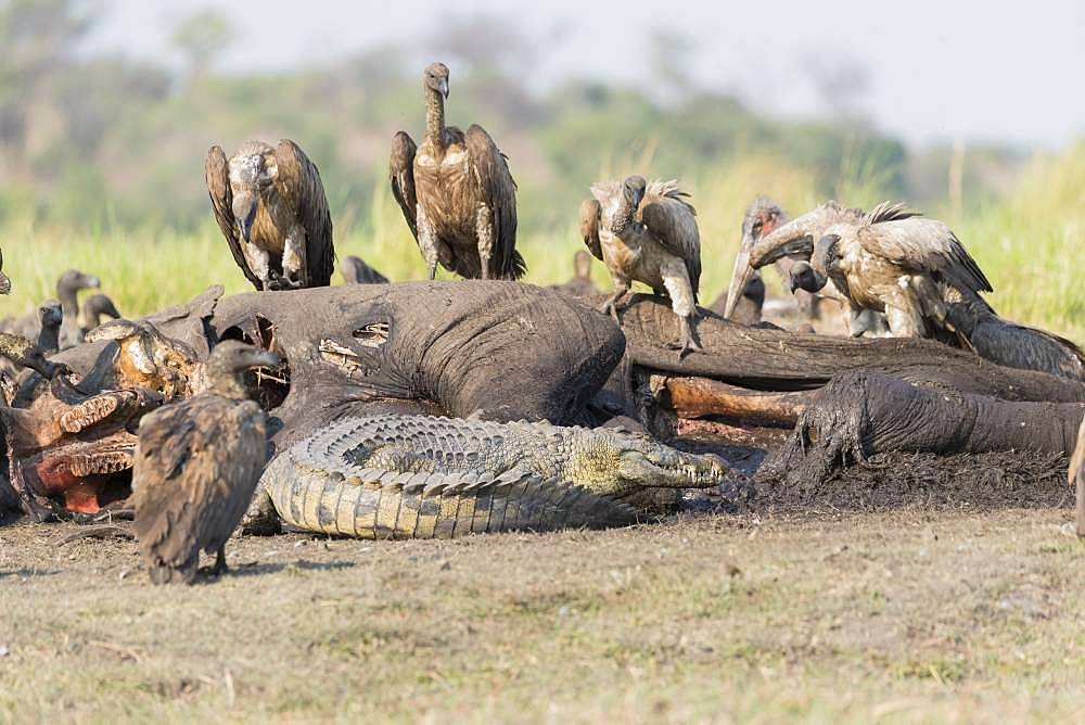 Nile Crocodile (Crocodylus niloticus) comes to eat as well as African vultures (Gyps africanus) an African savanna Elephant or Savannah Elephant (Loxodonta africana), killed, killed by anthrax, Chobe river, Chobe National Park,Bostwana