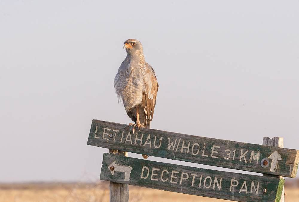 Pale chanting goshawk (Melierax canorus), immature perched, Central Kalahari Game Reserve, Bostwana