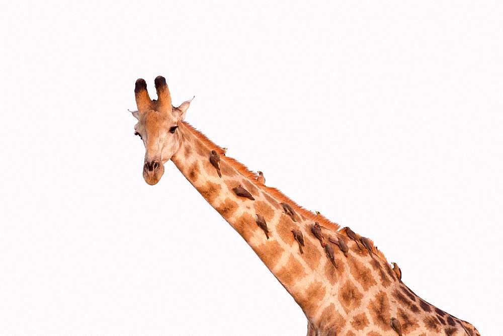 Northern giraffe (Giraffa camelopardalis) adult, Savuti National Park, Bostwana