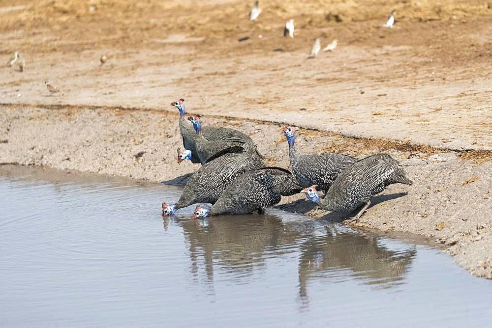 Helmeted guineafowl (Numida meleagris), group drinking, Moremi National Park, Bostwana