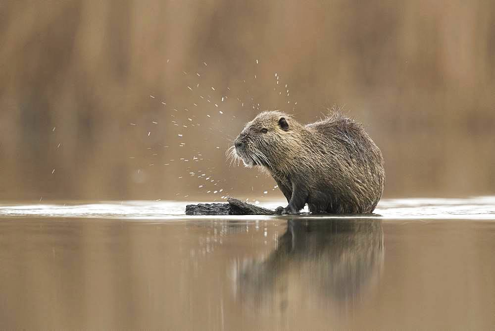 Coypu (Myocastor coypus). A large Coypu grooms on a floating log in Greece.