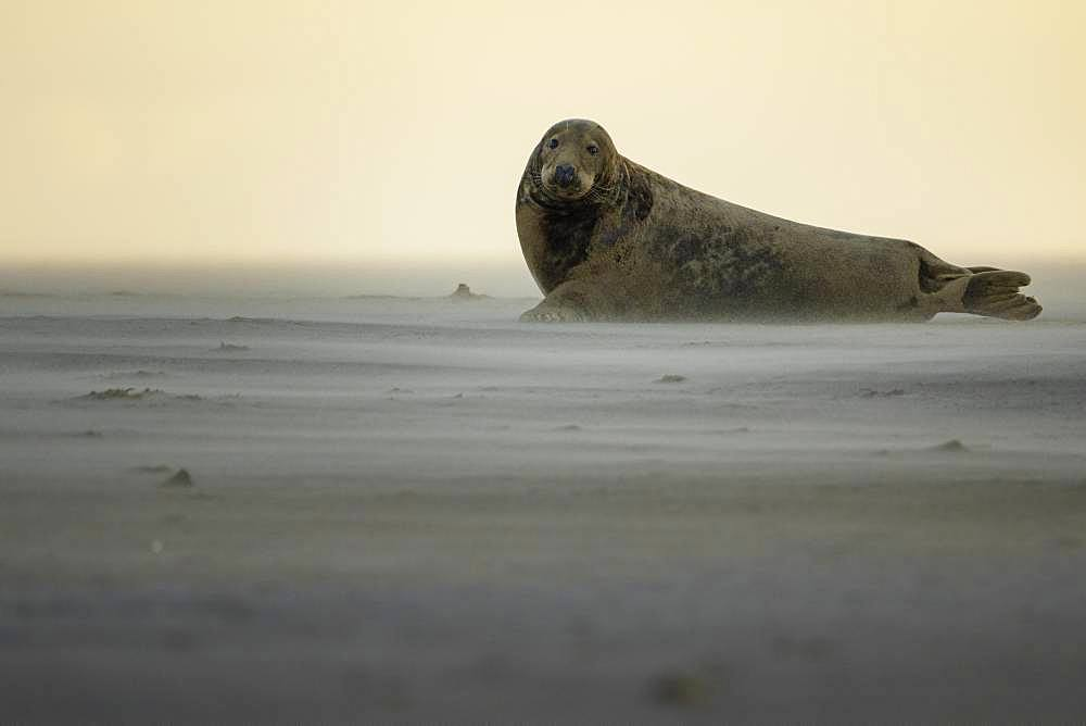 Grey Seal (Halichoerus grypus). A Grey Seal changes angle to avoid the incoming sandstorm off the coast of Lincolnshire in the UK.