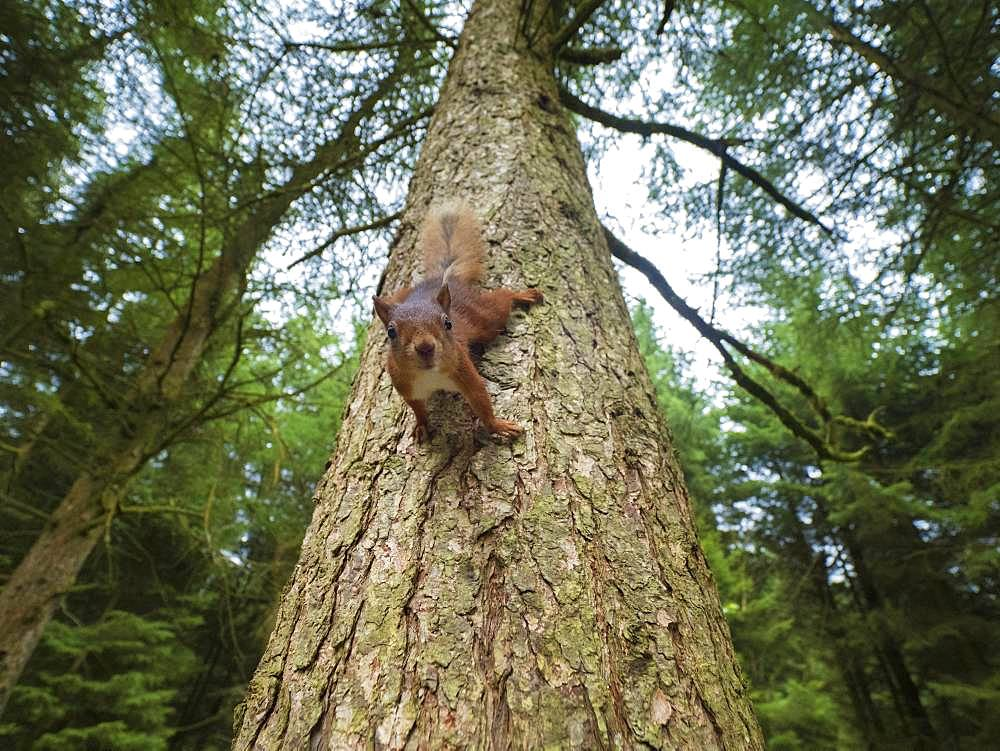 Red Squirrel (Sciurus vulgaris). An inquisitive Red Squirrel scrambles down the tree in the woodlands of Yorkshire in the UK.