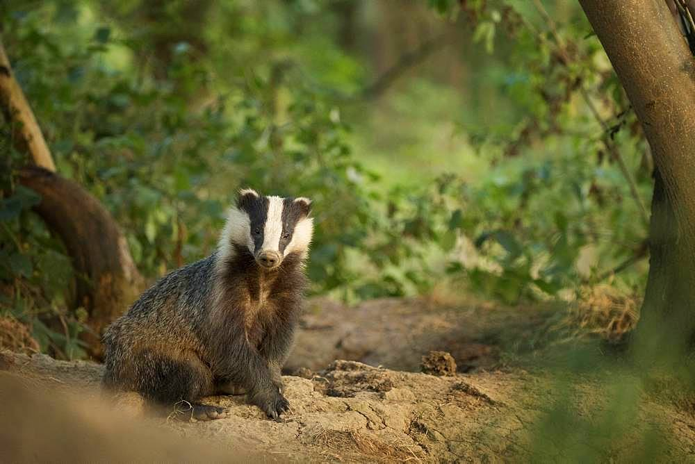 European Badger (Meles meles). A large sow emerges from the sett in the Peak District National Park, UK.