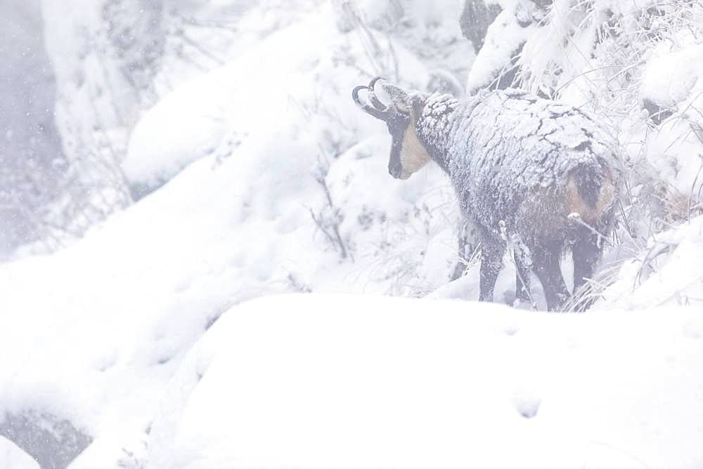 Alpine chamois (Rupicapra rupicapra), first snow in autumn, Vosges, France