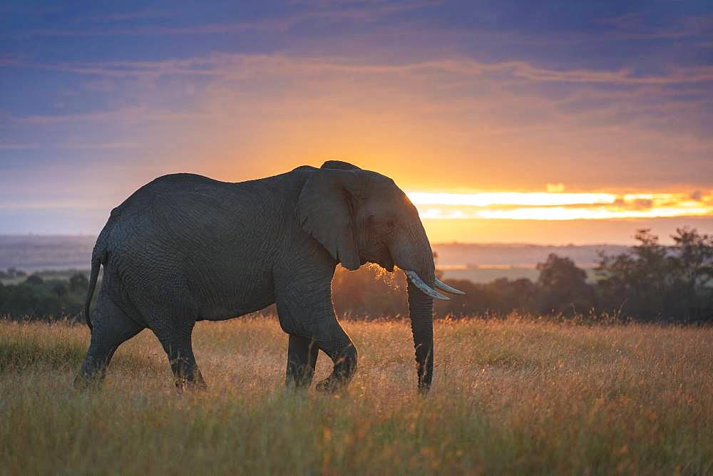 A bull Elephant (Loxodonta africana) crosses the valley in the Maasai Mara, Kenya.