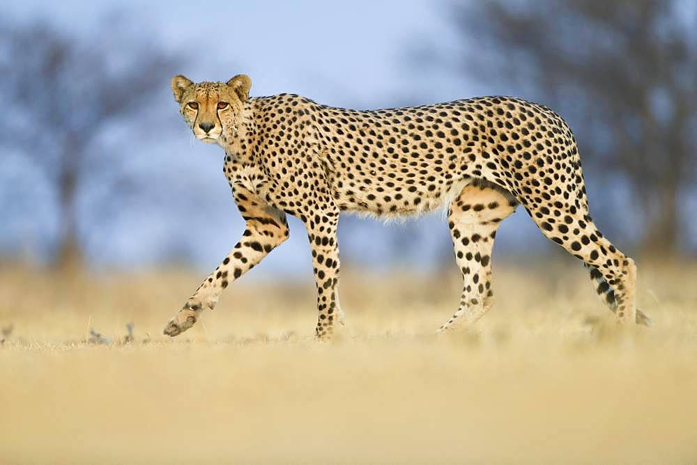 Cheetah (Acinonyx jubatus) male walking, Nxai Pan, Botswana