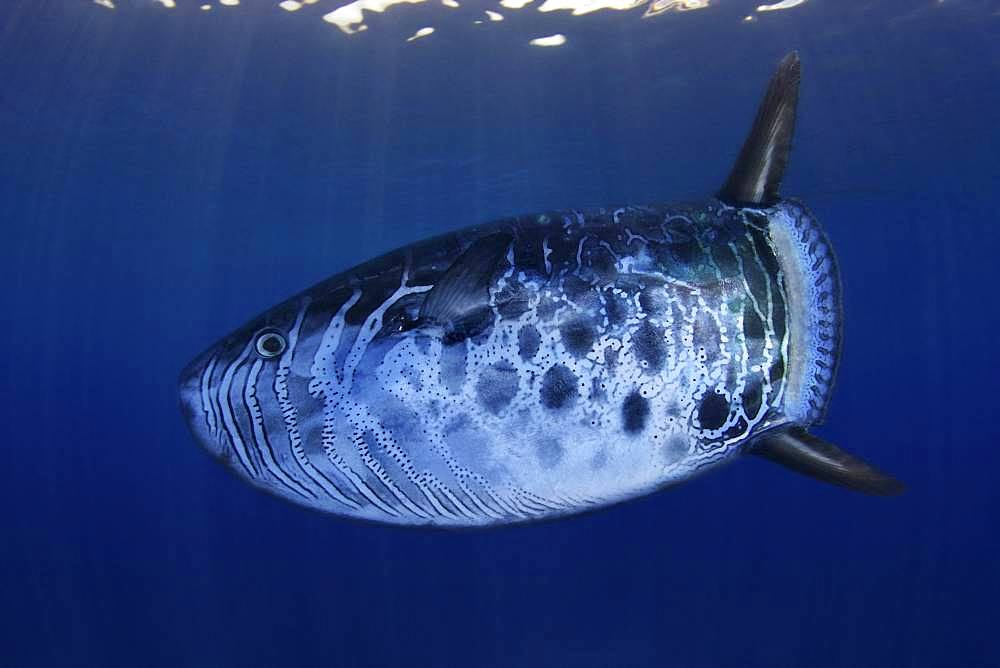 Slender sunfish, Ranzania laevis. It's a marine, oceanic species occurs in subtropical waters between depths of 1 and 140 m. Azores, Portugal - Composite image