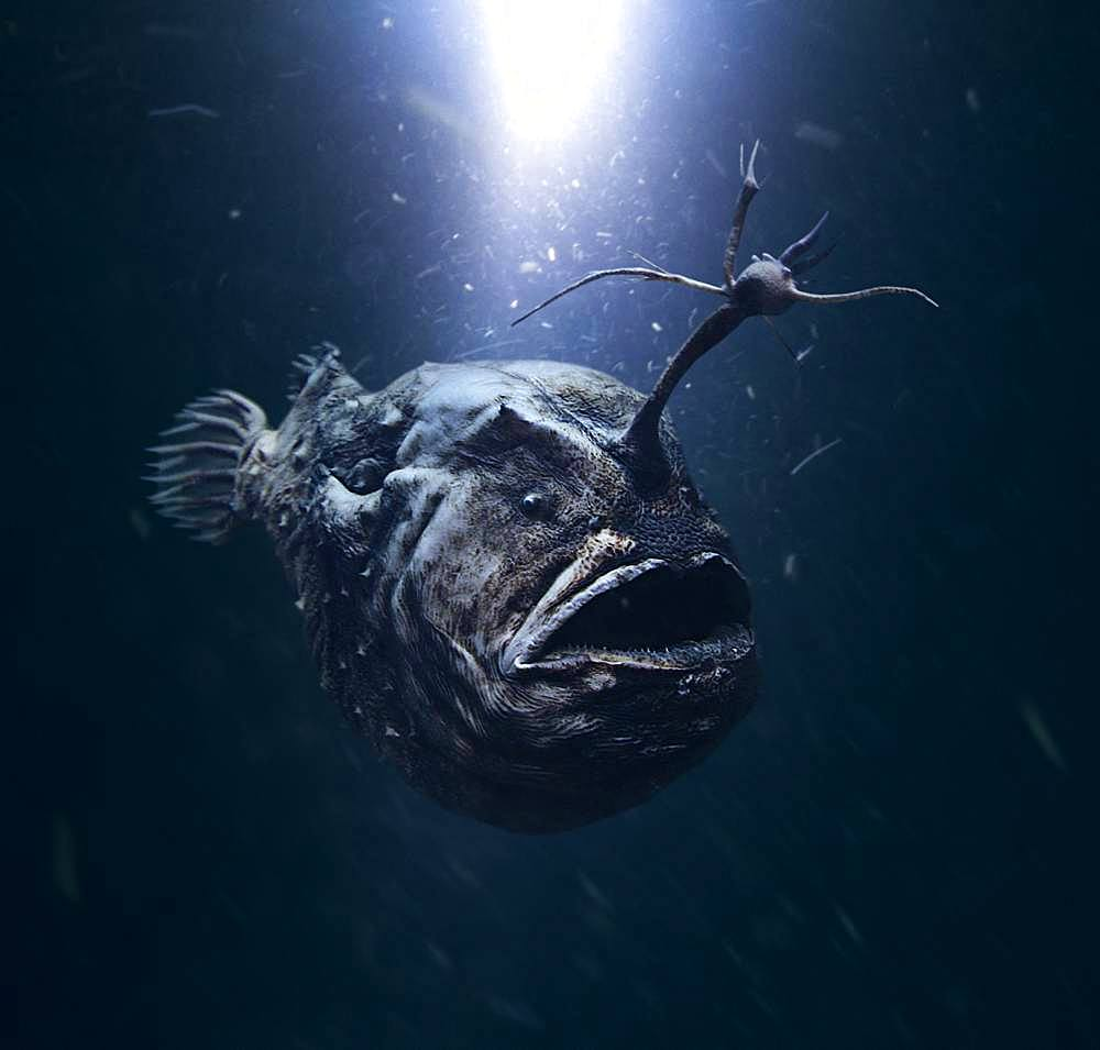 "Atlantic footballfish, Himantolophus groenlandicus. Female with modified ray on the head making a ""fishing-rod"", tipped with a lure on a central luminous bulb. It uses this to attract smaller fish in the dark abyss. Portugal"