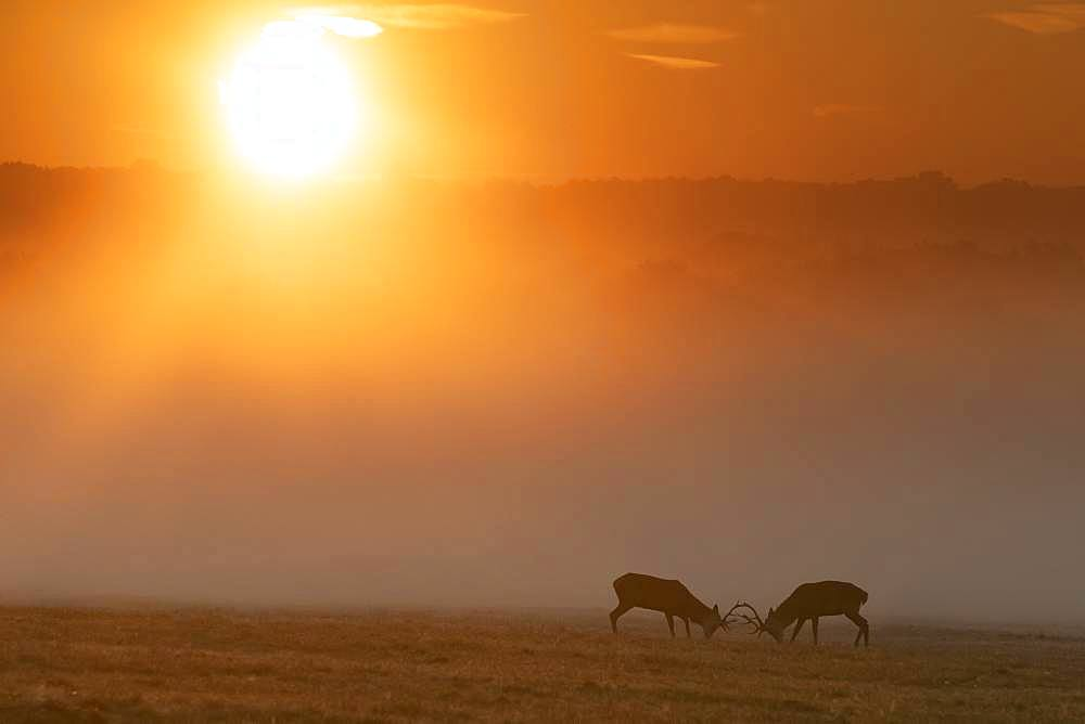 Red deer (Cervus elaphus) stag fighting in the mist at sunrise, England