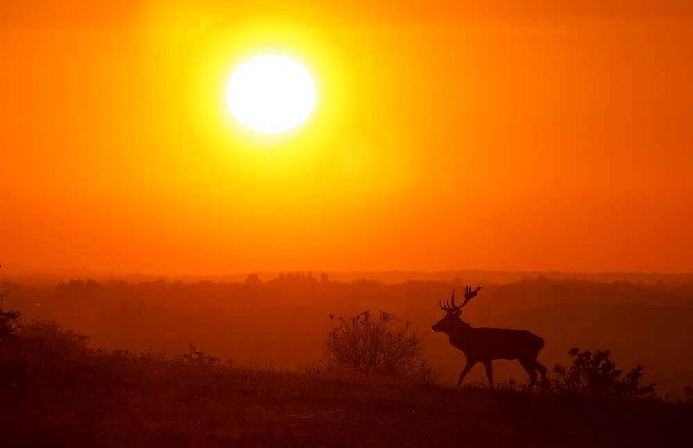 Red deer (Cervus elaphus) stag walking in a meadow at sunset, England