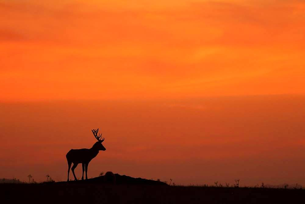 Red deer (Cervus elaphus) stag standing in a meadow at sunset, England