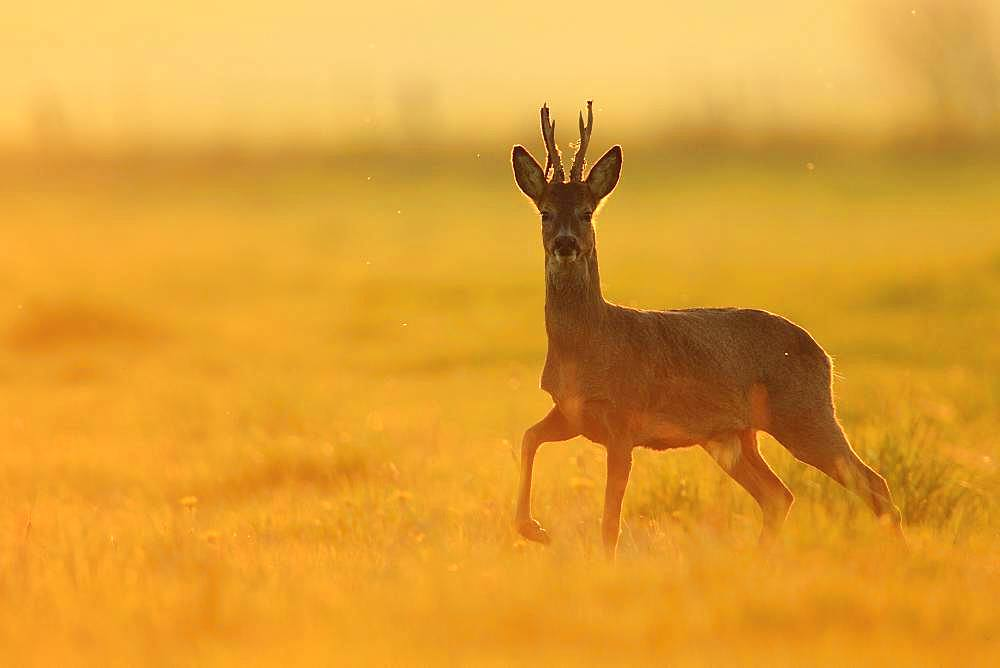 Roe deer(Capreolus capreolus), Buck losing velvet in a meadow at the end of the afternoon, Normandy, France
