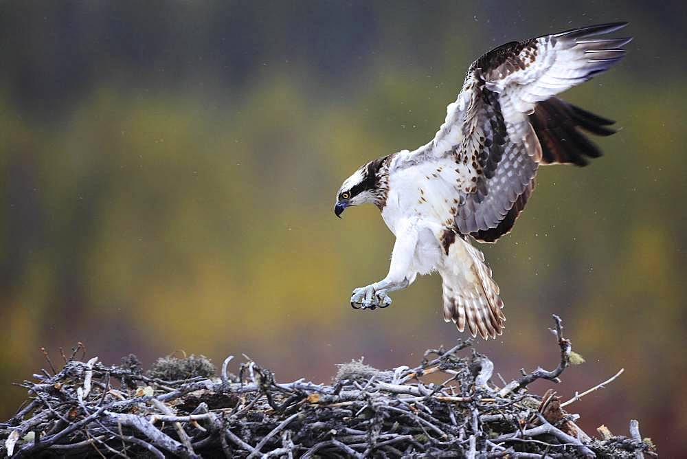 Osprey (Pandion haliaetus) arriving on his nest