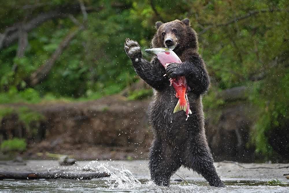 Kamchatka brown Bear (Ursus arctos beringianus) standing with salmon, Kamchatka, Russia