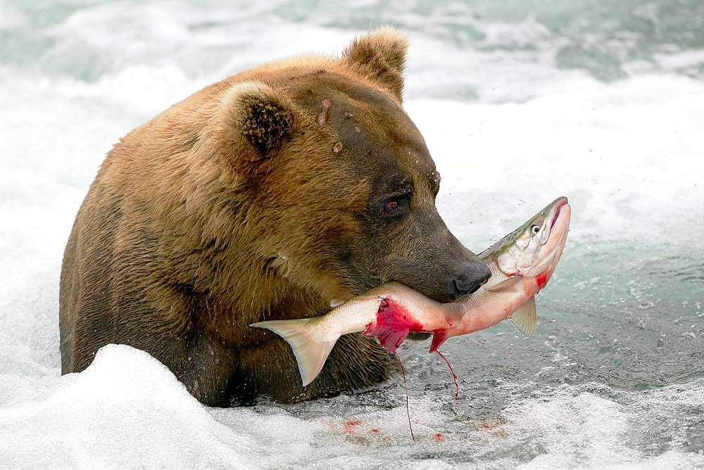 Grizzly bear (Ursus arctos horribilis) eating a Salmon in water, Alaska